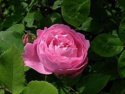 ros rosa